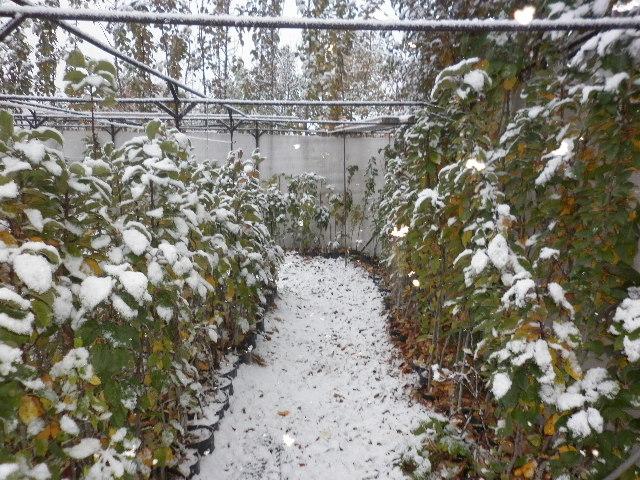Белый снег на листья колоновидных яблонь в конце октября