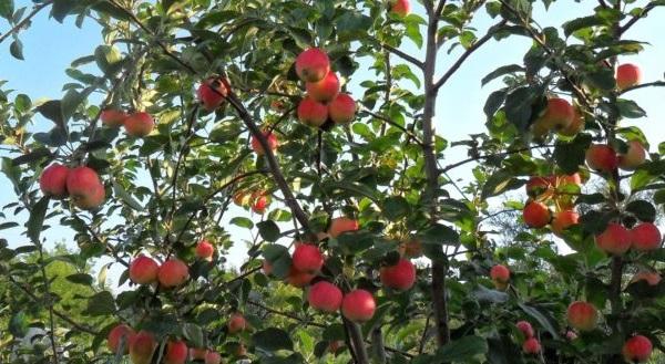 Прямые ветки с розово-зелеными яблоками сорта Москвичка в начале осени