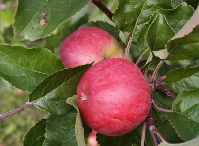 Два спелых яблока сорта Зарянка на ветке взрослого дерева в саду Московской области