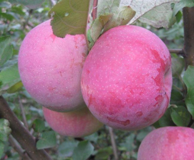 Восковой налет на кожице яблок сорта Брянское в саду Подмосковья