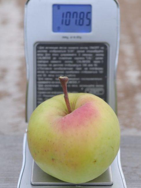 Вес яблока средней величины гибридного сорта Викор с отличным вкусом