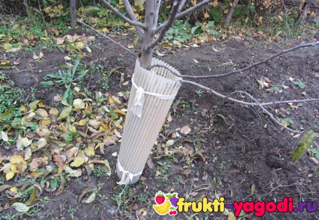 Обмотанный штамб яблони против грызунов