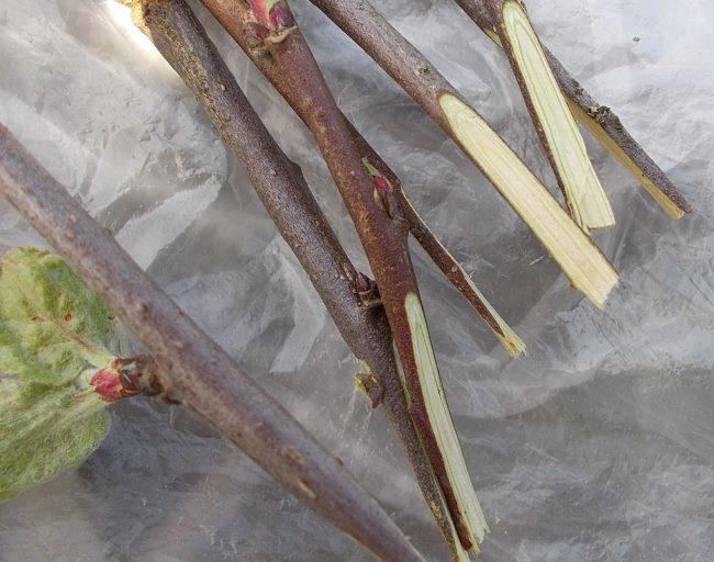 Односторонние срезы на черенках яблони для прививки в расщеп весной