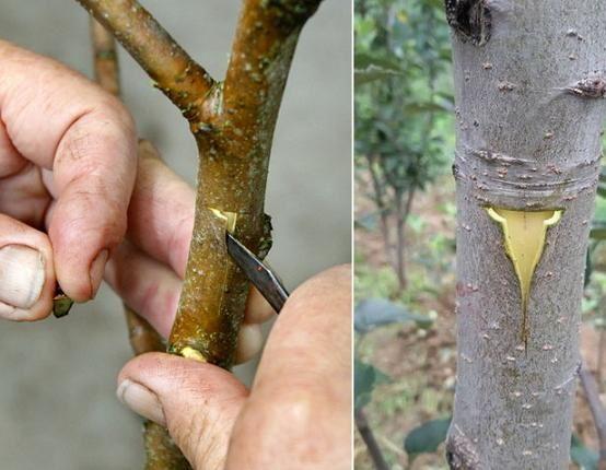 Поперечный и продольный надрезы на стволе молодой яблони