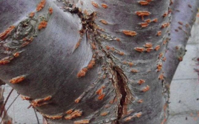 Ствол яблони с трещиной от воздействия низких температур