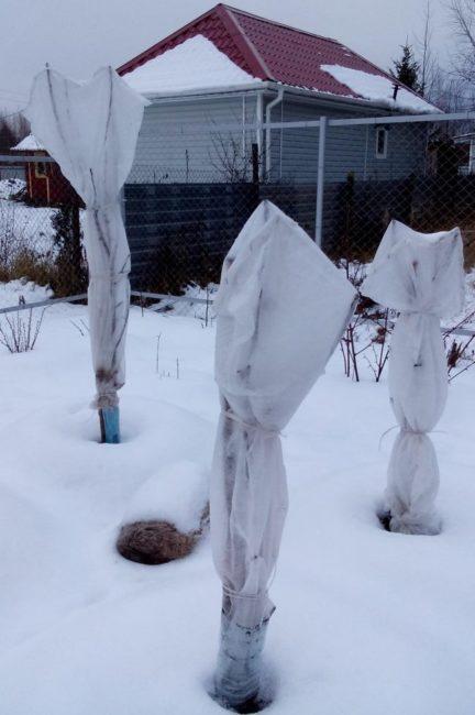 Три деревца колоновидной яблони под зимнем укрытием в средней полосе России