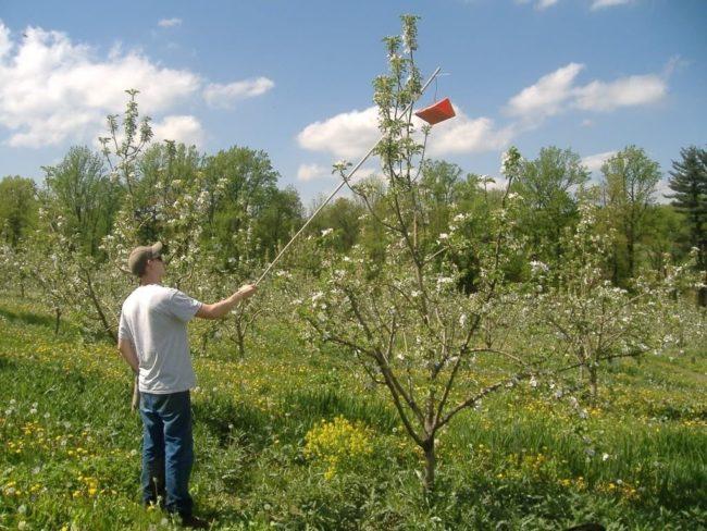 Подвешивание ловушки-домика с приманкой для бабочек на макушку яблони