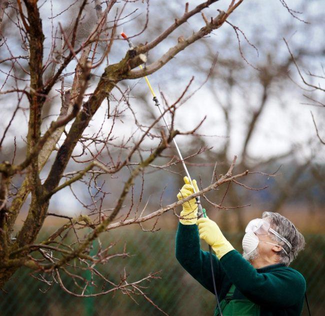 Опрыскивание веток яблони ранней весной раствором медного купороса