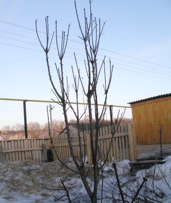 Ветвление макушки колоновидной яблони при ежегодном подмерзании