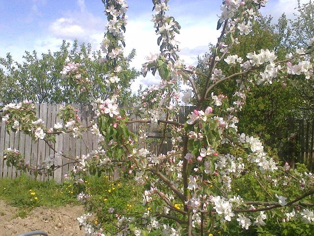 Молодое деревце яблони сорта Серебряное копытце в период цветения