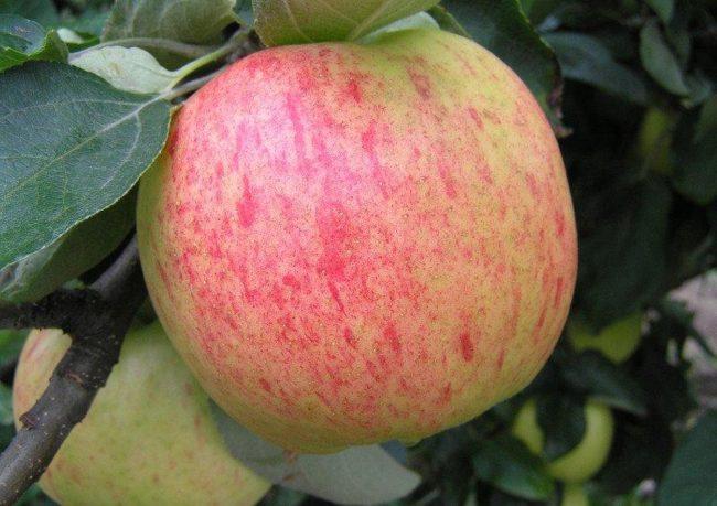 Крупное яблоко с полосатым румянцем сорта Яблочный Спас на ветке в середине августа