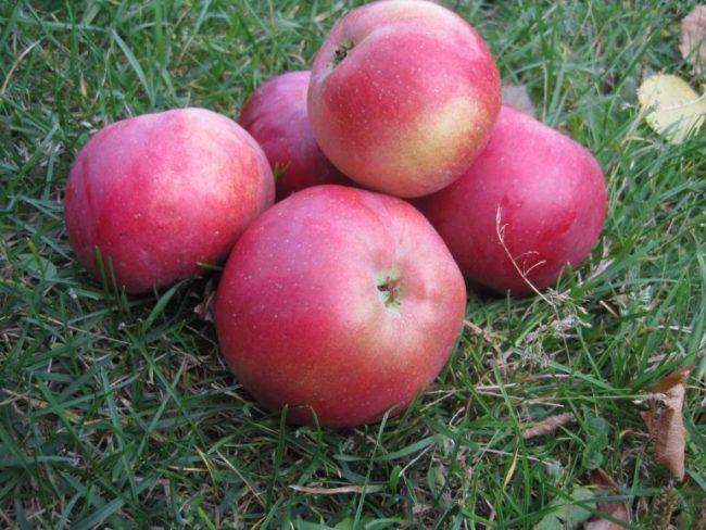 Несколько красных яблок сорта Белорусское сладкое на зеленой траве