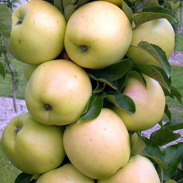Спелые яблоки сорта Медок с кожурой насыщенного молочно-белого цвета