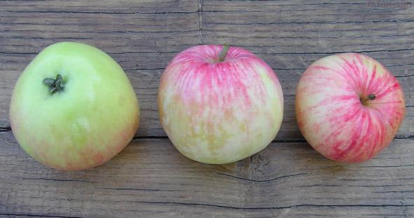 Три спелых яблока с розоватыми полосками на желто-зеленой кожице