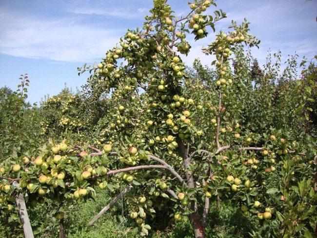 Усыпанные плодами ветки яблони на деревянных подпорках в саду Средней полосы России