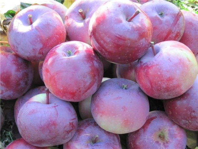 Крупные спелые яблоки насыщенно окраса белорусского сорта Алеся