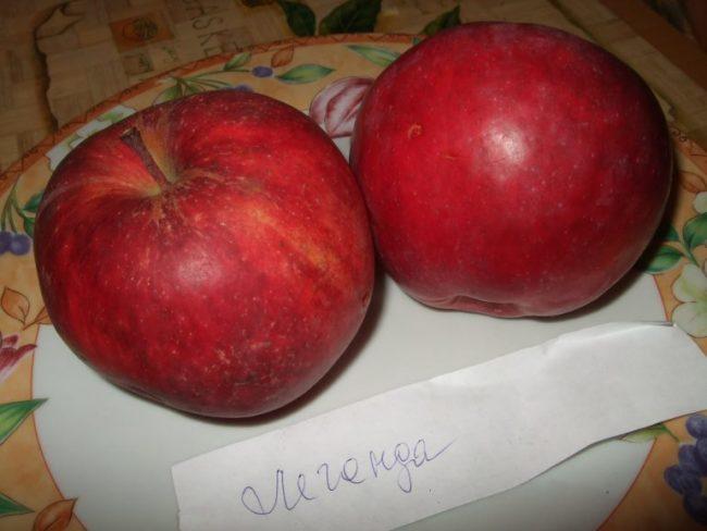 Два ярко красных яблока сорта Легенда современной селекции