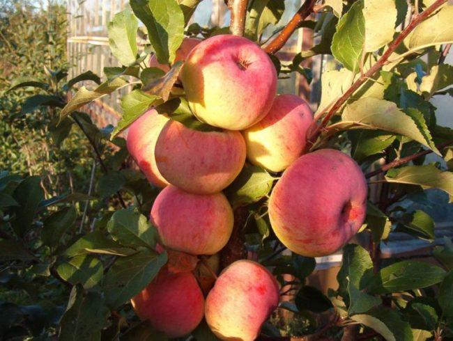 Полосатые плоды желто-красного окраса на ветке яблони сорта Услада в саду Подмосковья