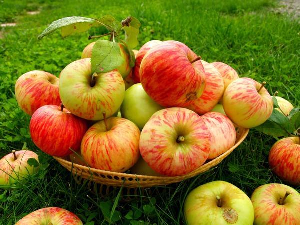 Небольшая корзинка с сочными и вкусными яблоками сорта Грушовка московская