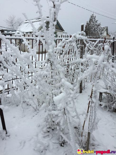 Яблоня в зимний период вся в снегу