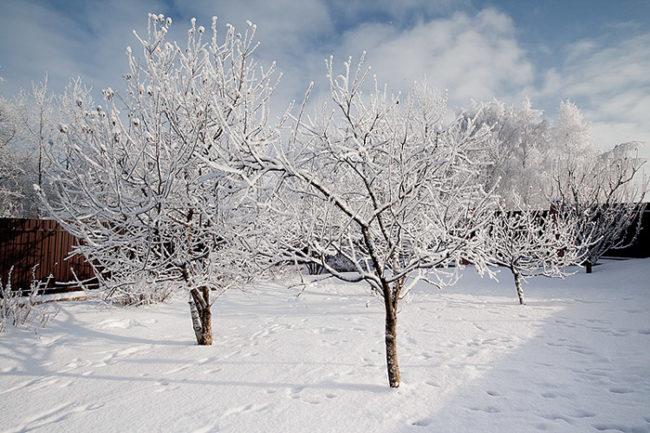 Покрытые инеем кроны яблонь сорта Анис Свердловский в саду Среднего Урала