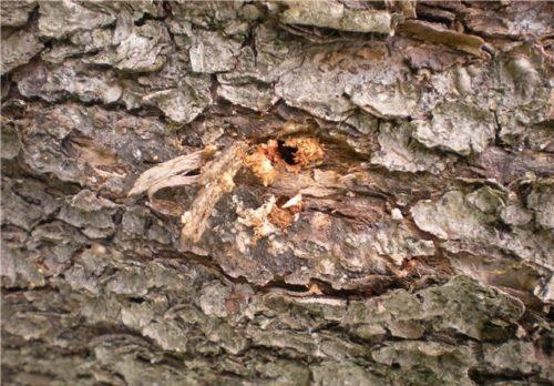 Отверстие в коре яблони от гусеницы бабочки стеклянницы
