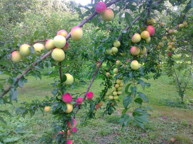 Ветки яблони со спелыми плодами гибридного сорта Аркадик в Подмосковье