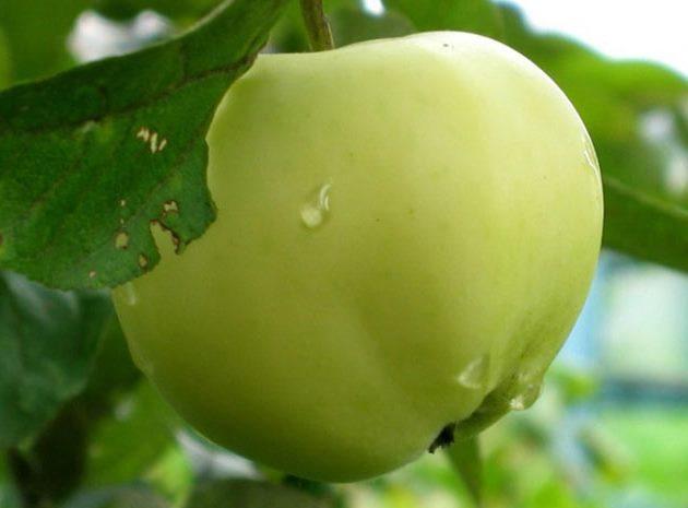 Желто-зеленый плод колоновидной яблони сорта Белый налив