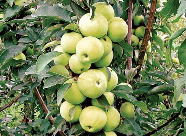 Гроздья желто-зеленых яблок на стволе колоновидного дерева сорта Диалог