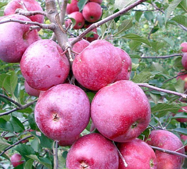 Красно-фиолетовые плоды на колоновидной яблоне сорта Флорина позднего срока созревания