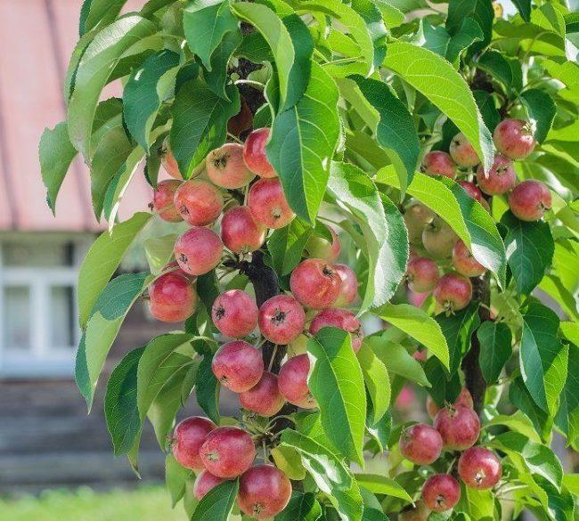 Некрупные плоды на колоновидной яблоне гибридного сорта Горнист