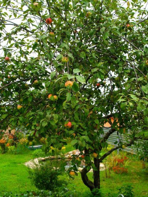 Взрослое дерево яблони сорта Московская Грушовка в неурожайный год