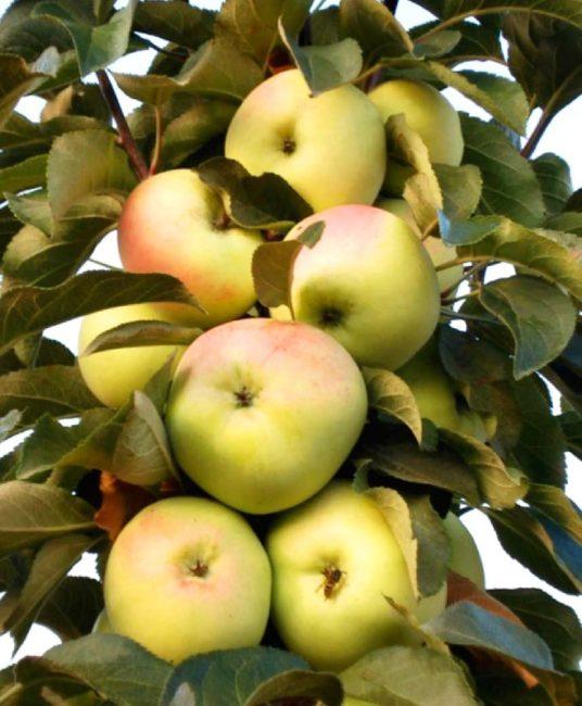 Созревание плодов на стволе колоновидной яблони сорта Медок