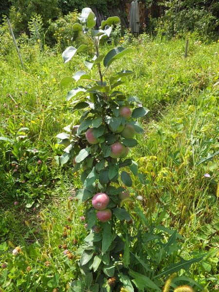 Небольшая колоновидная яблоня с плодами розово-зеленого окраса
