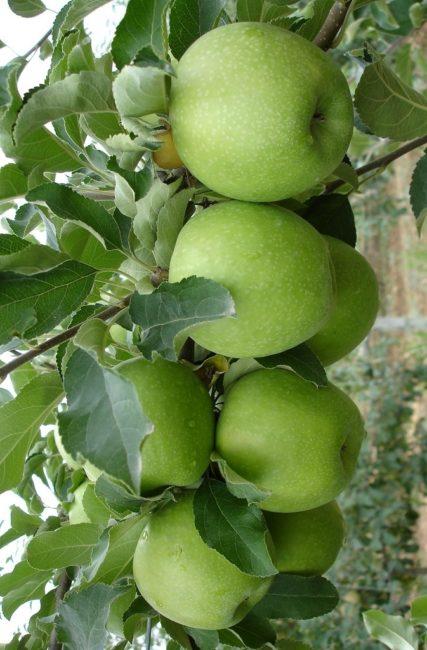 Красивые зеленые яблоки на колоновидном сорте Лукомор современной селекции