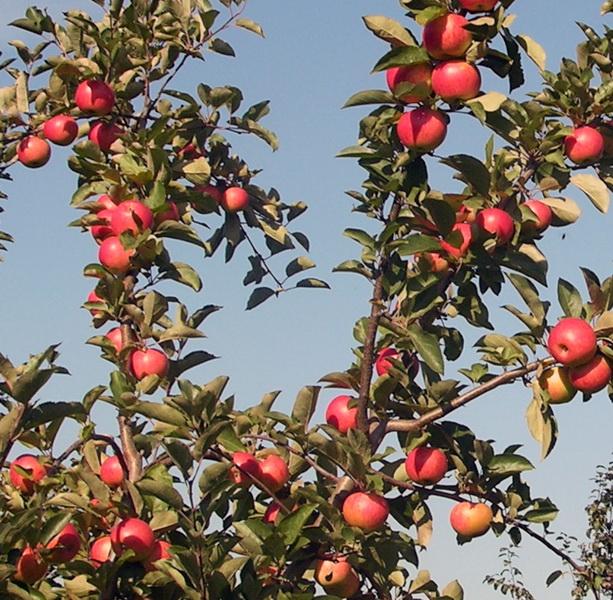 Прямые ветки с большим количеством спелых яблок сорта Маяк Загорья