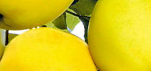 Спелые плоды яблони медок