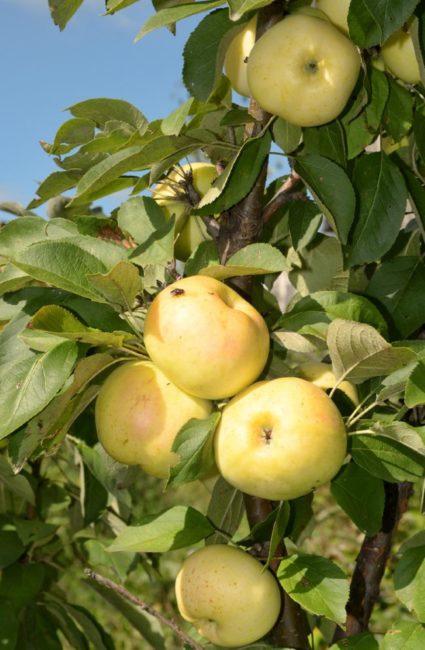 Золотисто-желтые плоды на яблоне сорта Медок колоновидного типа