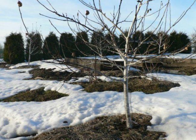 Весенние проталины на садовом участке с карликовыми яблонями