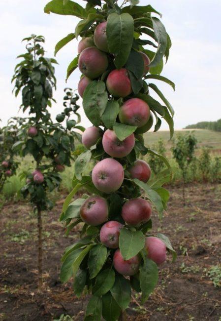 Насыщенный красный румянец на спелых плодах колоновидной яблони сорта Останкино