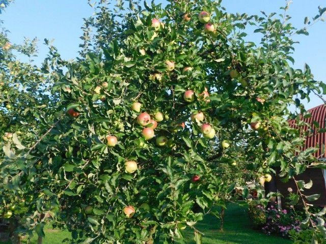 Невысокое деревце яблони сорта Услада в период плодоношения
