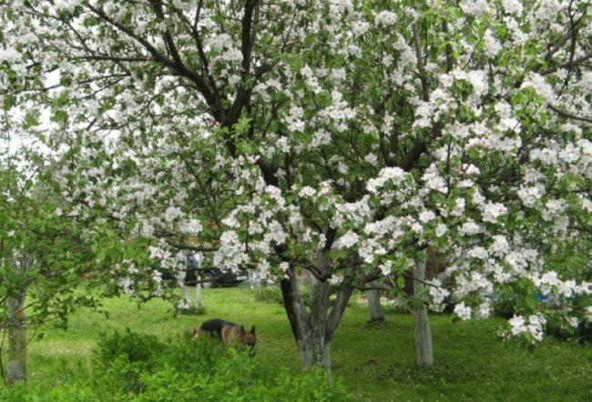 Обильный цвет на старой яблони сорта Медуница в средней полосе России