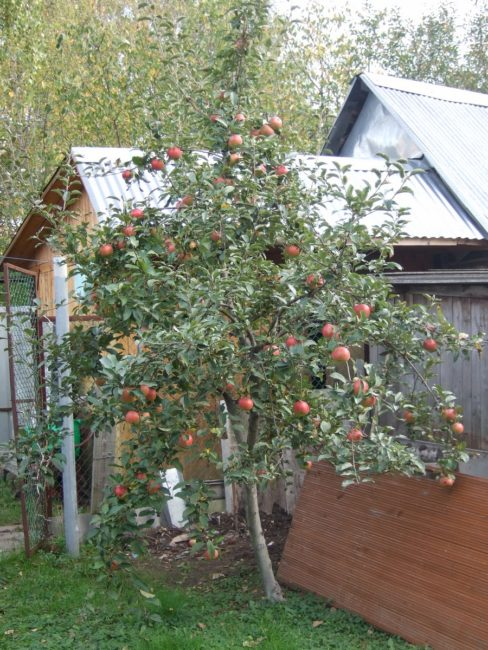Семилетнее дерево яблони сорта Медуница с плодами отечественной селекции
