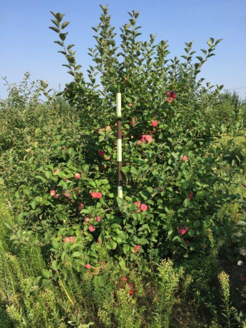 Деревцо яблони высотой около трех метров гибридного сорта Серебряное копытце