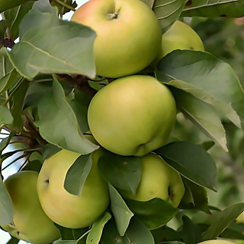 Зеленоваты плоды на стволе колоновидной яблони сорта Диалог