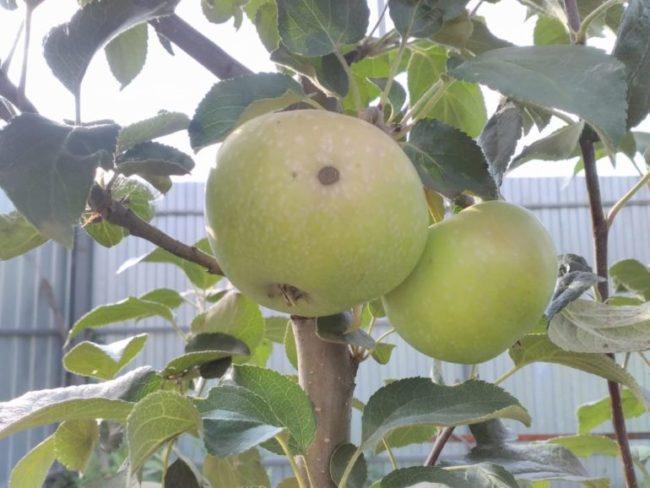 Зеленоватые яблоки на ветке невысокого деревца сорта Елена на фоне забора из профнастила