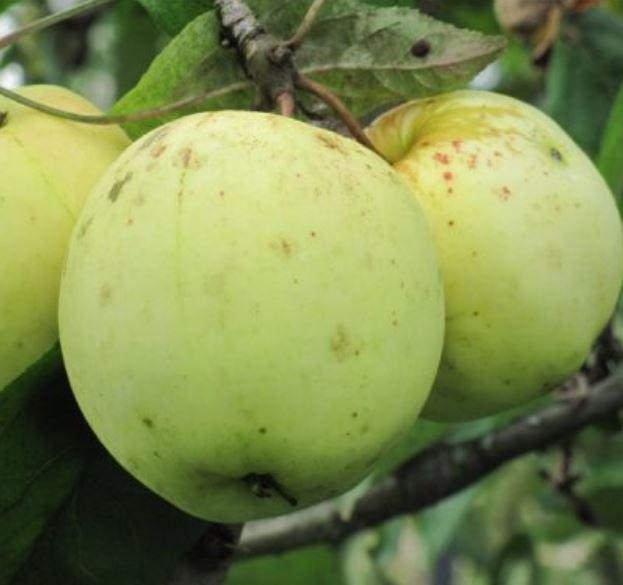Желто-зеленые яблоки селекционного сорта Гордеевское в период технической спелости