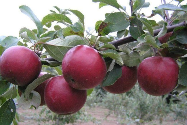 Ветка яблони с красными плодами селекционного сорта Коваленковское на яблоне в Подмосковье