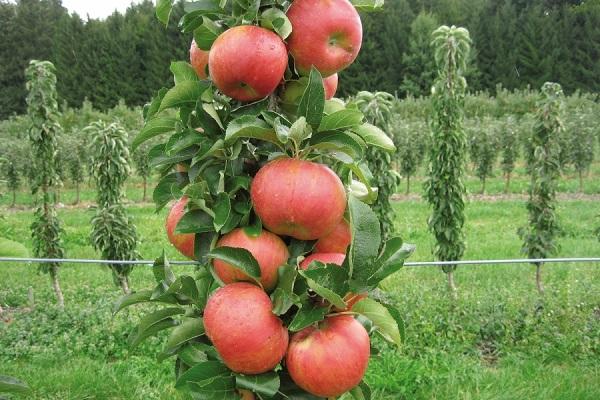 Спелые плоды на колоновидной яблони сорта Триумф в саду фермерского хозяйства