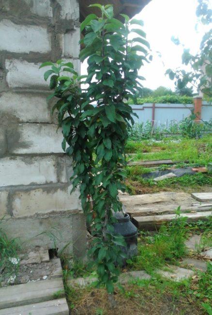 Деревце колоновидной яблони около кирпичной стены капитального сарая
